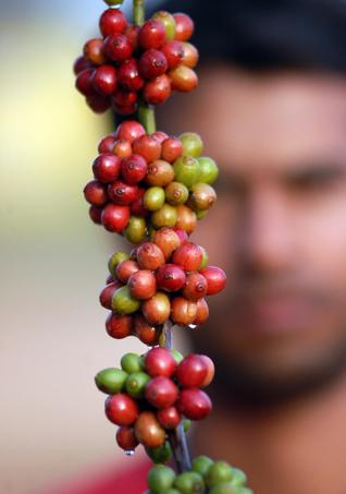 Coffee ready for harvest
